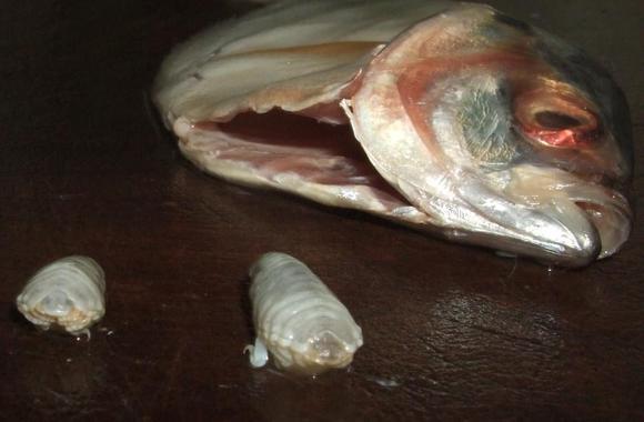 超巿解释这类寄生虫会从正常生态系统进入鱼体,超巿大多在包装过