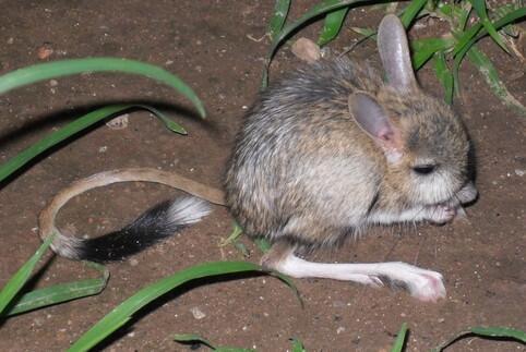 新疆柯坪县发现世界濒危灭绝动物长耳跳鼠