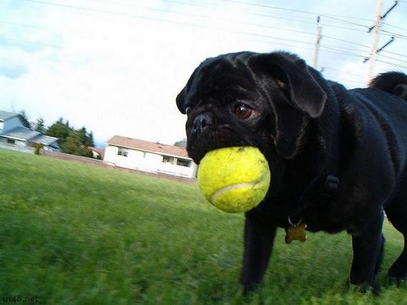 巴哥犬的自白 我很丑但是我很可爱