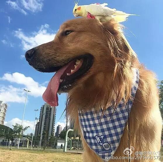 旅游 天下奇闻  来源:新华网 责编:王春艳                金毛犬与8