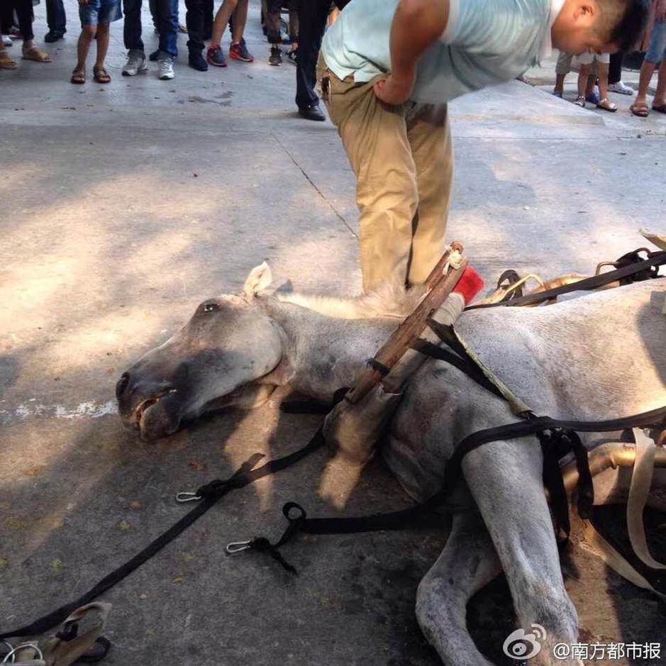 深圳动物园马匹十一拉客中猝死