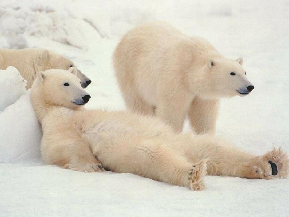 刘飞                 美可爱北极熊宝宝踩水桶秀平衡力 北极熊萌图