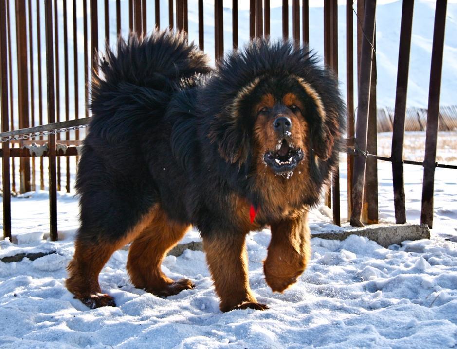 猛犬之殇:世界上最危险的五种狗