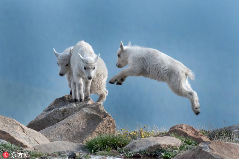 活泼可爱的山羊宝宝图片