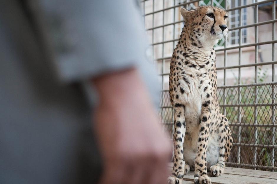 直击野生动物交易黑市:70%猎豹幼崽死于途中