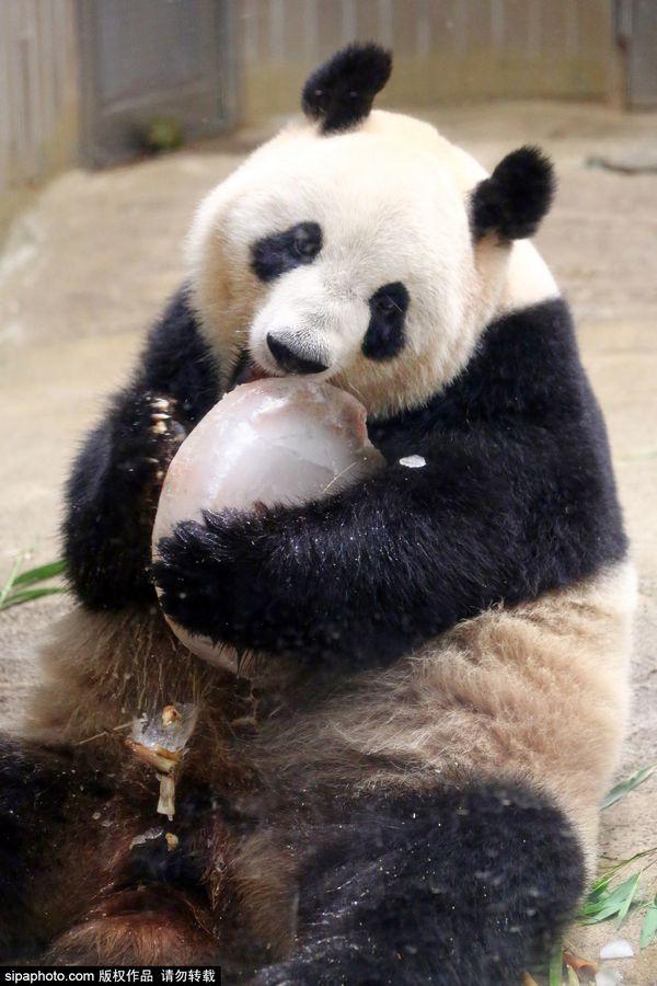 超呆萌可爱大熊猫手机壁纸