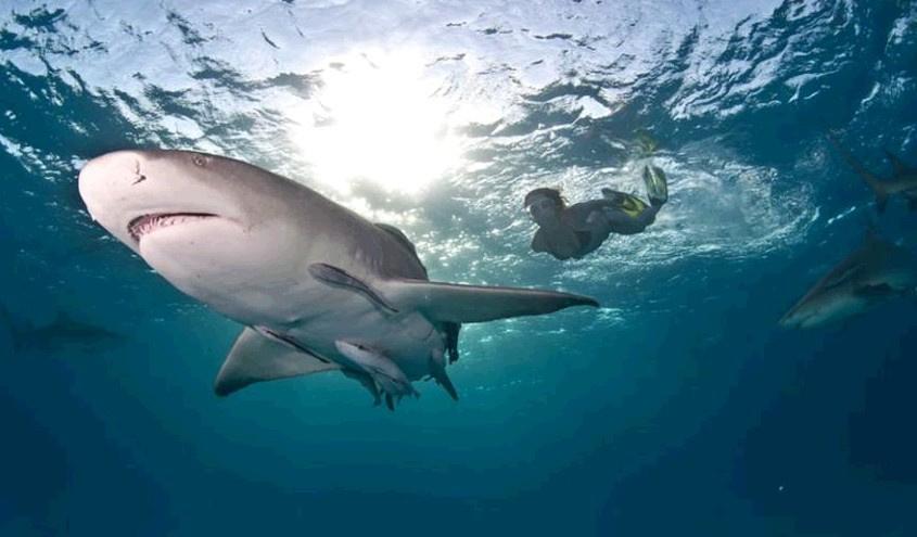 鲨鱼战士 美女与虎鲨亲密同游