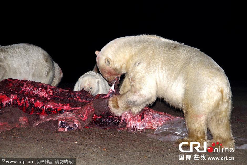 在通常情况下,北极熊是一种孤独的动物,很少彼此离得如此之近,但是在
