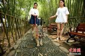 6月22日,河南洛阳伏牛山地质公园鸡冠洞园区,姑娘们带着俩老虎遛弯散步,吸引民众的关注。据了解,这是...