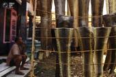 """图像由印尼西爪哇省Kapetakan村的屠宰场开始。Wakira,被称为""""老板眼镜蛇"""",拥有一个蛇类..."""