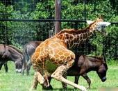 发情鉴定(Fstrus diagnosis)是动物繁殖工作中一项重要枝术环节。通过发情鉴定,可以判断...