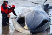 12月27日,一条长须鲸在纽约市微风点海滩搁浅一天后死亡。这条长达60英尺、重约20至30吨的长须鲸...