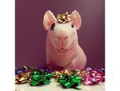 2019-10-17报道(具体拍摄时间不详),圣诞节即将来临,波兰华沙一只可爱的无毛豚鼠Ludwik...