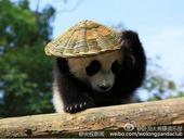 四川碧峰峡基地的一岁大熊猫宝宝有了新玩具——背篓和草帽,背上背篓,戴上草帽,再加上逼真的表情,像极了...