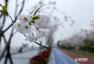 美爆了!杭州滨江最美跑道变身樱花大道