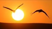 """黑颈鹤是国际公认的珍稀濒危动物,被誉为""""鸟类熊猫"""",是国家一级重点保护野生动物。云南省昭通市大山包黑..."""